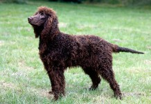 Hunderasse Irish-Water-Spaniel