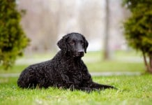 Hunderasse Curly Coated Retriever