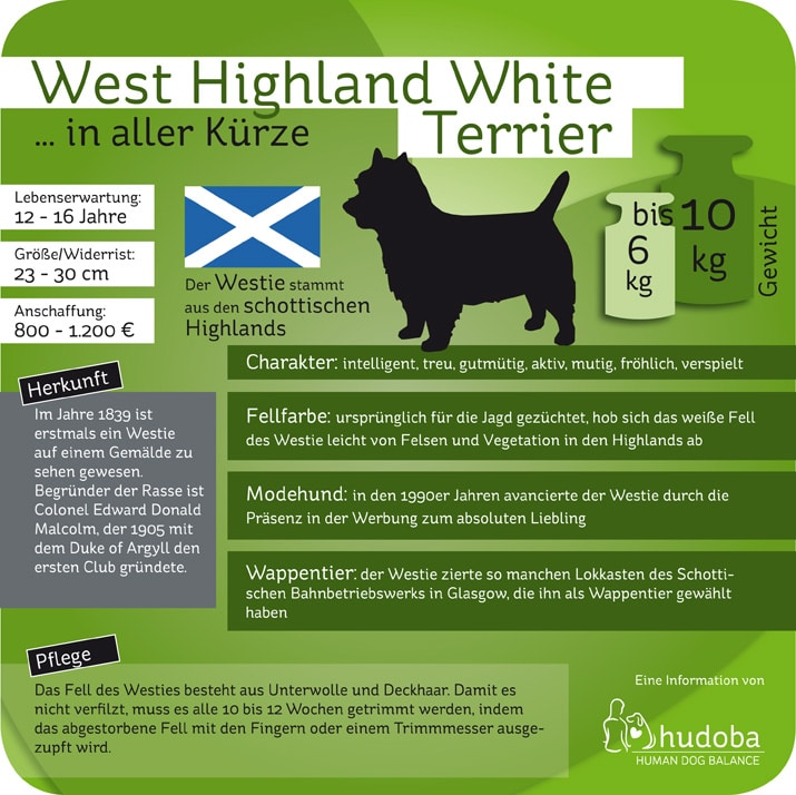 Infografik Westie (West Highland White Terrier)